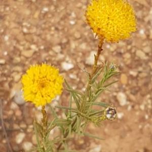 Rutidosis leptorhynchoides at Crace Grasslands - 8 Dec 2020