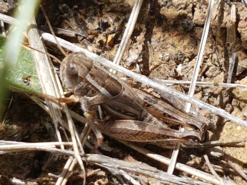 Brachyexarna lobipennis at Crace Grasslands - 8 Dec 2020