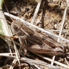 Brachyexarna lobipennis (Stripewinged meadow grasshopper) at Crace Grasslands - 7 Dec 2020 by tpreston