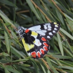 Delias aganippe (Spotted Jezebel) at Majura, ACT - 8 Dec 2020 by Owen