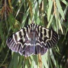 Comocrus behri (Mistletoe Day Moth) at Majura, ACT - 8 Dec 2020 by Owen