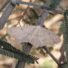 Dissomorphia australiaria (Dissomorphia australiaria) at Majura, ACT - 8 Dec 2020 by Owen