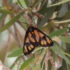 Amata (genus) (Handmaiden) at Majura, ACT - 8 Dec 2020 by Owen