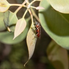 Pergagrapta sp. (genus) (A sawfly) at Holt, ACT - 8 Dec 2020 by Roger