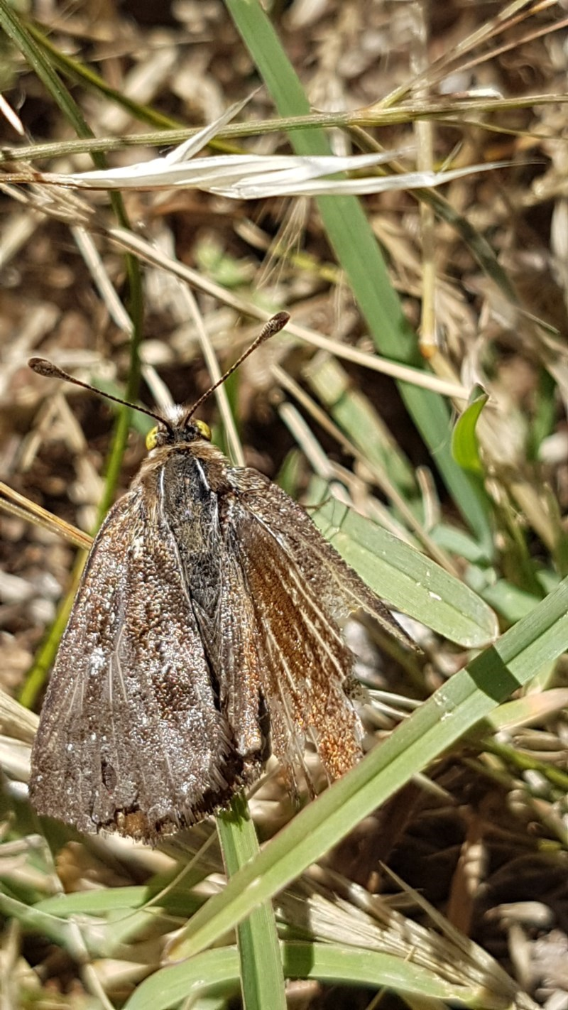 Synemon plana at Bass Gardens Park, Griffith - 8 Dec 2020