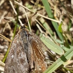 Synemon plana (Golden Sun Moth) at Bass Gardens Park, Griffith - 8 Dec 2020 by SRoss