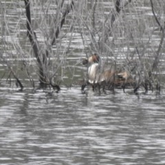 Podiceps cristatus (Great Crested Grebe) at Lower Cotter Catchment - 5 Dec 2020 by Liam.m