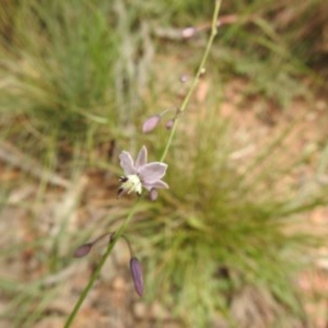 Arthropodium milleflorum at Namadgi National Park - 5 Dec 2020