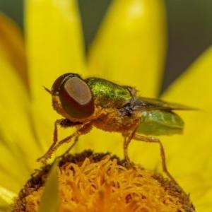 Odontomyia sp. (genus) at ANBG - 2 Dec 2020