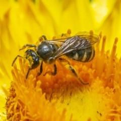Lasioglossum (Chilalictus) sp. (genus & subgenus) (Halictid bee) at Acton, ACT - 2 Dec 2020 by WHall