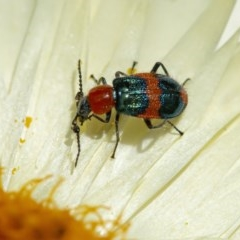 Dicranolaius bellulus (Red and Blue Pollen Beetle) at ANBG - 2 Dec 2020 by WHall