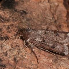 Agrotis porphyricollis (Variable Cutworm) at Melba, ACT - 14 Nov 2020 by kasiaaus