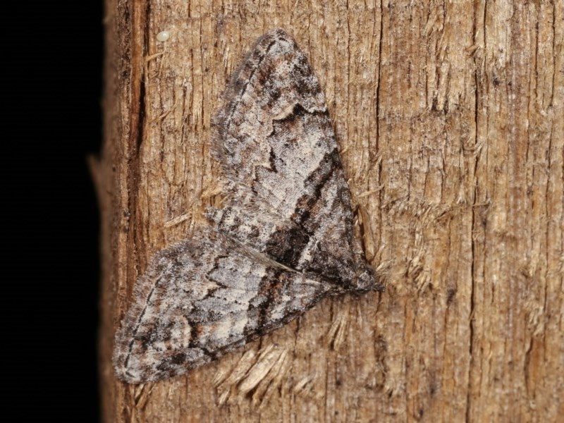 Phrissogonus laticostata at Melba, ACT - 15 Nov 2020
