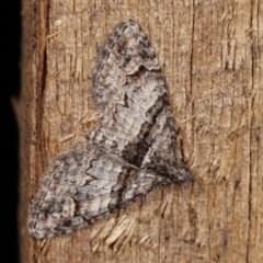 Phrissogonus laticostata (Apple looper moth) at Melba, ACT - 14 Nov 2020 by kasiaaus