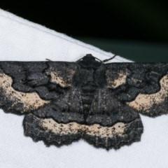 Melanodes anthracitaria (Black Geometrid) at Melba, ACT - 14 Nov 2020 by kasiaaus