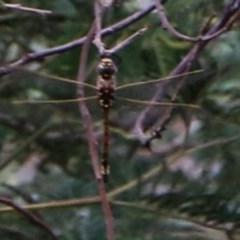 Unidentified Dragonfly & Damselfly (Odonata) (TBC) at Wodonga - 8 Dec 2020 by Kyliegw
