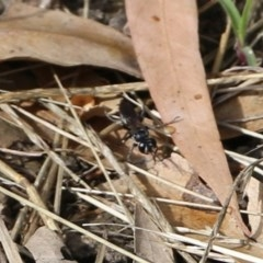 Crabroninae sp. (subfamily) (Unidentified solitary wasp) at Wodonga - 8 Dec 2020 by Kyliegw