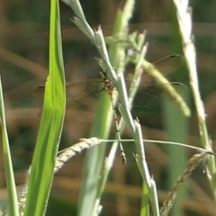 Unidentified Dragonfly (Anisoptera) (TBC) at Wodonga - 8 Dec 2020 by Kyliegw