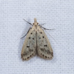 Atheropla decaspila (A concealer moth) at Melba, ACT - 14 Nov 2020 by kasiaaus