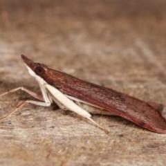 Uresiphita ornithopteralis (Tree Lucerne Moth) at Melba, ACT - 14 Nov 2020 by kasiaaus