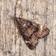 Heliothela ophideresana (A Crambid Moth (Scopariinae)) at Melba, ACT - 14 Nov 2020 by kasiaaus