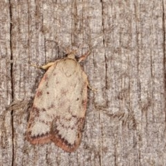Garrha (genus) (A concealer moth) at Melba, ACT - 14 Nov 2020 by kasiaaus