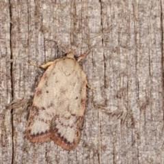 Garrha (genus) (A concealer moth) at Melba, ACT - 14 Nov 2020 by kasiaaus