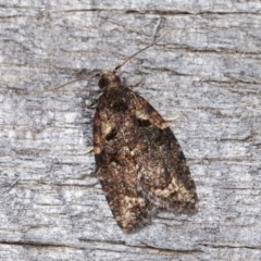 Capua intractana (A Tortricid moth) at Melba, ACT - 14 Nov 2020 by kasiaaus