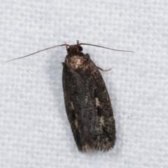 Barea (genus) (A concealer moth) at Melba, ACT - 14 Nov 2020 by kasiaaus