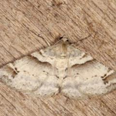Syneora hemeropa (Ring-tipped Bark Moth) at Melba, ACT - 14 Nov 2020 by kasiaaus