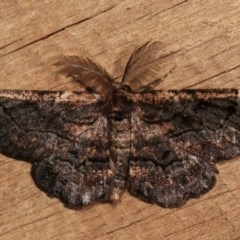 Pholodes sinistraria (Sinister Moth, Frilled Bark Moth) at Melba, ACT - 14 Nov 2020 by kasiaaus