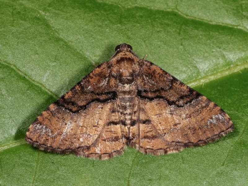 Aporoctena undescribed species at Melba, ACT - 15 Nov 2020