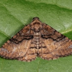 Aporoctena (genus) (A Geometrid moth) at Melba, ACT - 14 Nov 2020 by kasiaaus