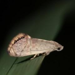 Eupselia melanostrepta (A Twig moth) at Melba, ACT - 14 Nov 2020 by kasiaaus