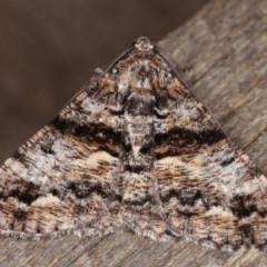 Gastrinodes argoplaca (Cryptic Bark Moth) at Melba, ACT - 14 Nov 2020 by kasiaaus