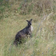 Macropus robustus (Wallaroo) at Ginninderry Conservation Corridor - 6 Dec 2020 by RobParnell
