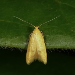 Aeolothapsa malacella (A Concealer moth) at Melba, ACT - 14 Nov 2020 by kasiaaus