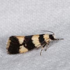 Telecrates melanochrysa (A Xylorictid moth) at Melba, ACT - 14 Nov 2020 by kasiaaus