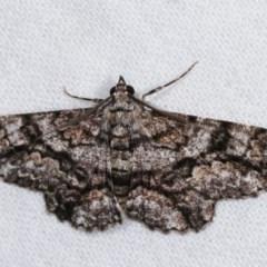 Cleora displicata (A Geometrid moth) at Melba, ACT - 14 Nov 2020 by kasiaaus