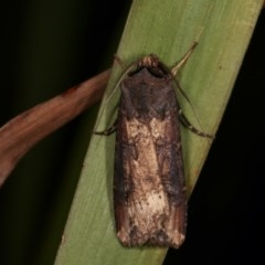 Agrotis ipsilon (Black Cutworm) at Melba, ACT - 14 Nov 2020 by kasiaaus