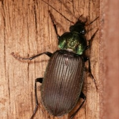 Chlaenius australis (A predaceous ground beetle) at Melba, ACT - 15 Nov 2020 by kasiaaus