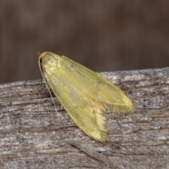 Aeolothapsa malacella (A Concealer moth) at Melba, ACT - 15 Nov 2020 by kasiaaus