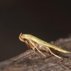 Aeolothapsa malacella at Melba, ACT - 15 Nov 2020