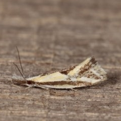 Thema macroscia (A concealer moth) at Melba, ACT - 15 Nov 2020 by kasiaaus