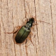 Chlaenius darlingensis (Carab beetle) at Melba, ACT - 15 Nov 2020 by kasiaaus