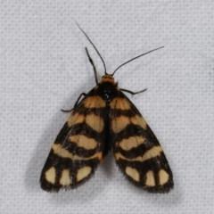 Asura lydia (Lydia Lichen Moth) at Melba, ACT - 15 Nov 2020 by kasiaaus