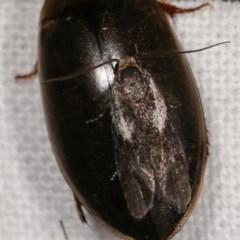 Phylomictis maligna (A Concealer moth) at Melba, ACT - 15 Nov 2020 by kasiaaus
