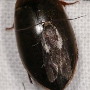 Phylomictis maligna at Melba, ACT - 15 Nov 2020