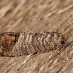 Cydia pomonella (Codling Moth) at Melba, ACT - 15 Nov 2020 by kasiaaus
