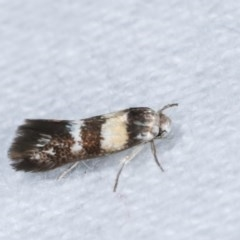 Oecophorinae (subfamily) (Unidentified Oecophorinae concealer moth) at Melba, ACT - 15 Nov 2020 by kasiaaus